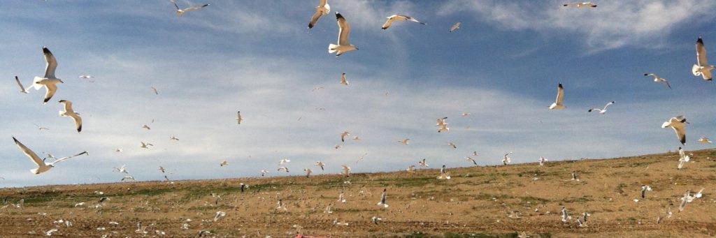 Gulls at Trans Jordan landfill