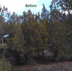 Juniper density prior to fuel reduction project