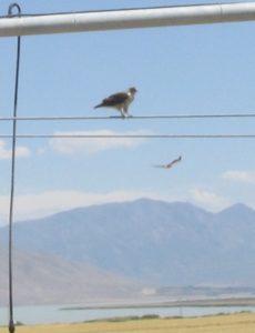 Hawks (Red-tailed, Ferruginous, or Prairie Falcon. I'm hopeless.)
