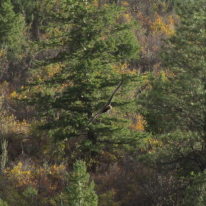 A Golden Eagle, spotted earlier this year in the canyon