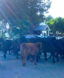 Cattle move past St. Rita's church in Mancos, CO