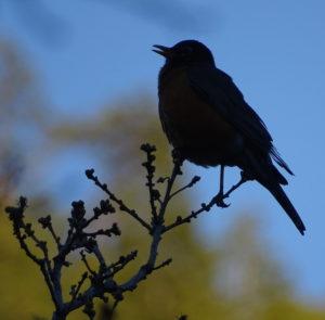 A robin at dusk