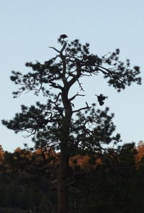 Turkeys roosting WAY up in a pine tree. There are about eight in this photo.