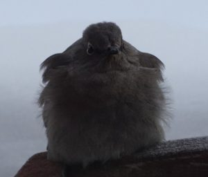 A cold Townsend's Solitaire